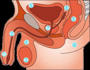 prostat anatomisi
